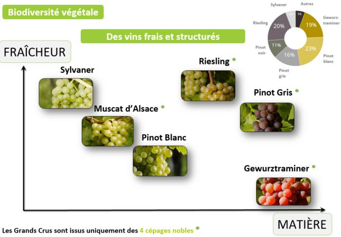 Vin d'Alsace : cépages